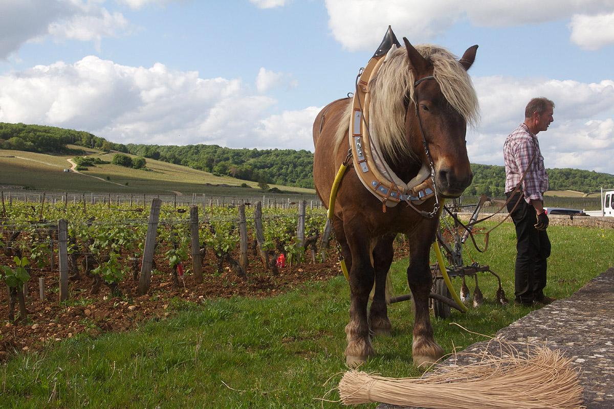 Vineyard Horse