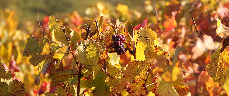 Golden wine slopes